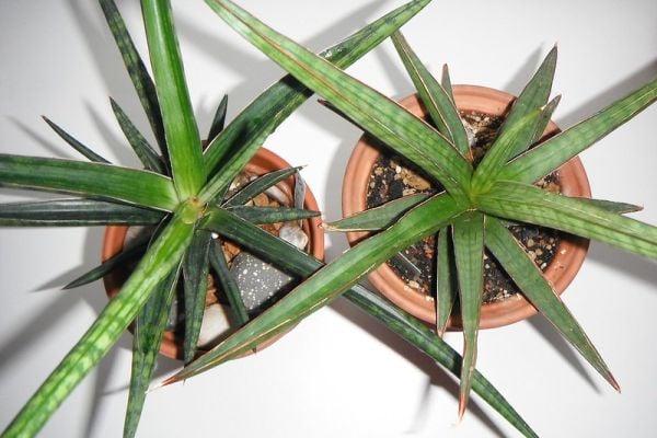 Сансевиерията е некапризно стайно растение.