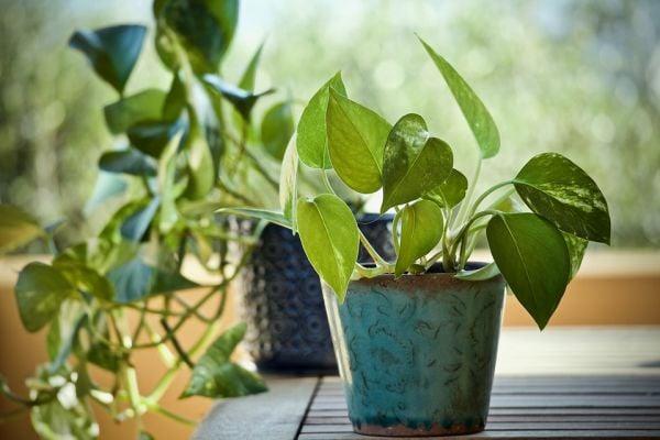 Сциндапсусът е капризно декоративно стайно растение.