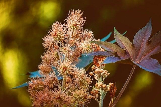 Рицин растение