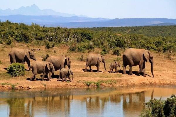 стадо слонове