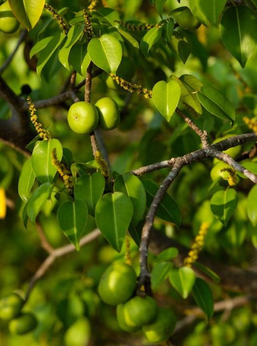 клонки манчинелово дърво