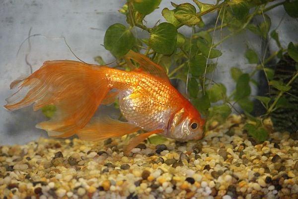 Отглеждане ан златна рибка
