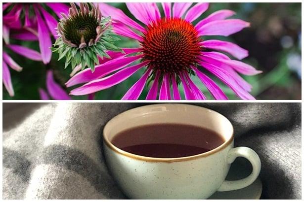 Чай и ехинацея