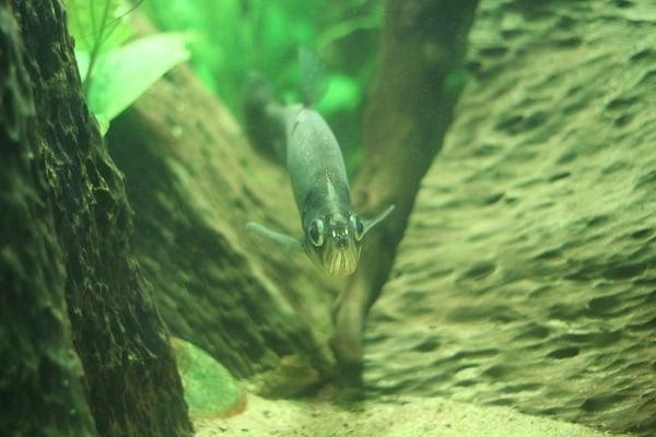 Риба Змийски зъб