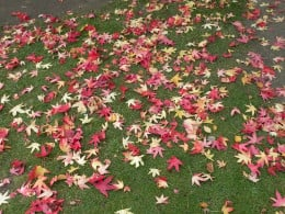 листа от амброво дърво