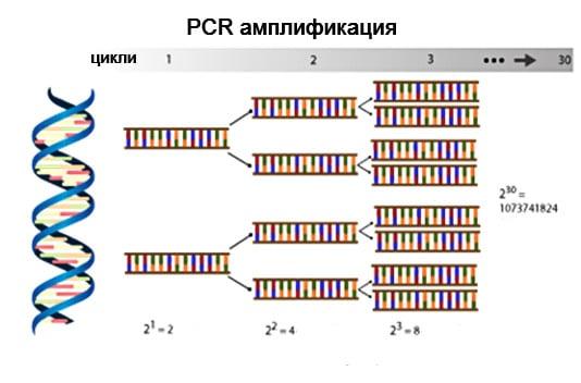 PCR амплификация