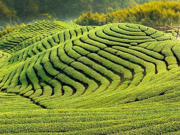 плантации чай