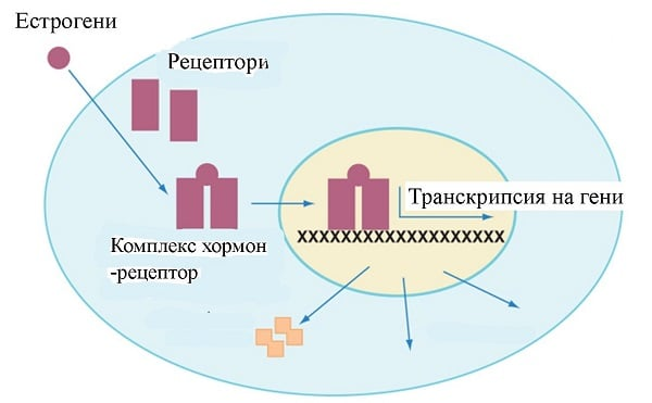 рецептори за естрогени