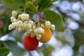 ягодово дърво