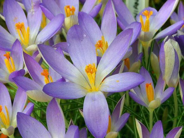 Томасиниев минзухар сорт Lilac Beauty