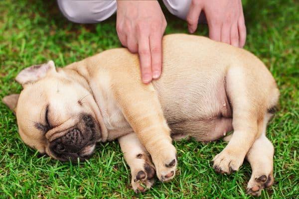 Извършване на компресии при малки кучета