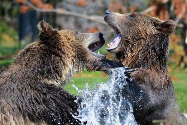 Кафяви мечки се съревновават.