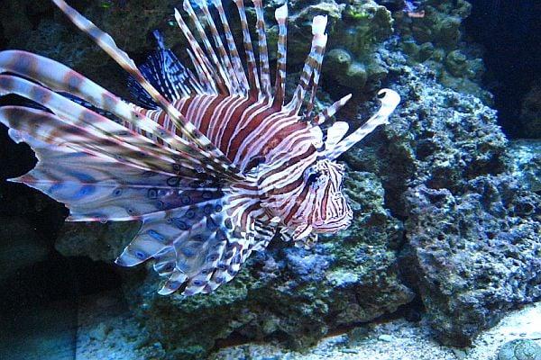 Риба лъв - едно от най-красивите морски създания на света