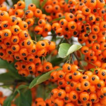 оранжева пираканта