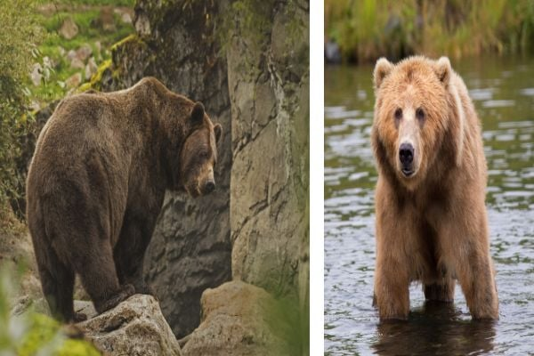 Кафявите мечки от Камчатка са едни от най-големите хищници там