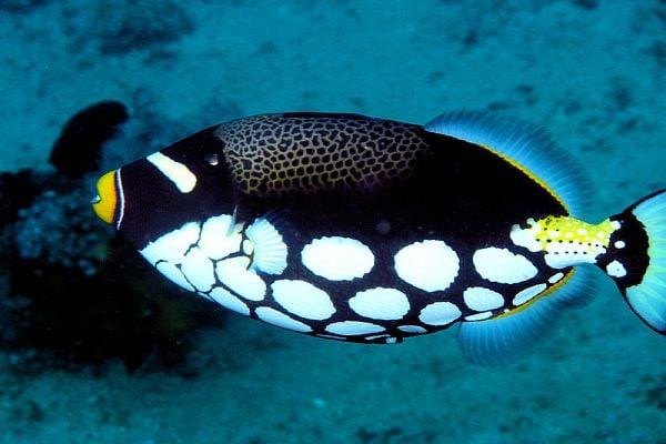 Риба спусък - едно от най-красивите морски създания