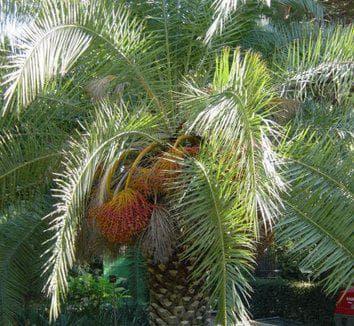Финикова палма