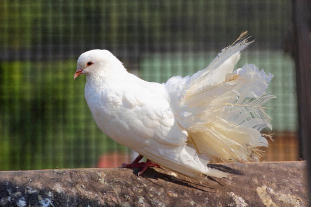 гълъб готин