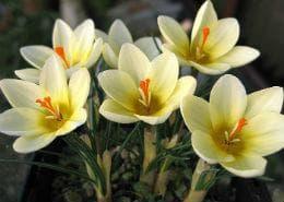 Златистоцветен минзухар сорт Cream Beauty