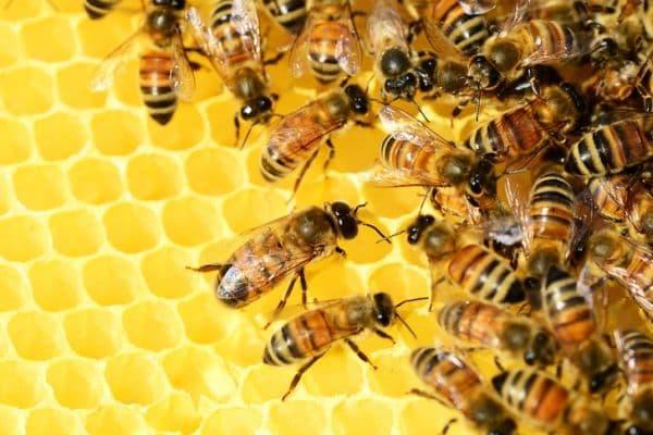 Пчели - най-трудолюбивите същества на земята