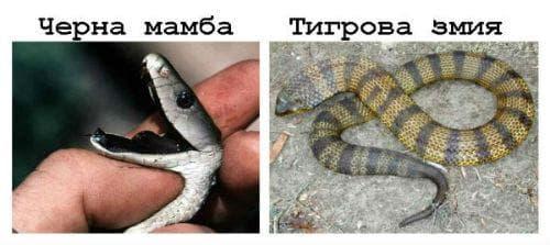 Черна мамба / Тигрова змия