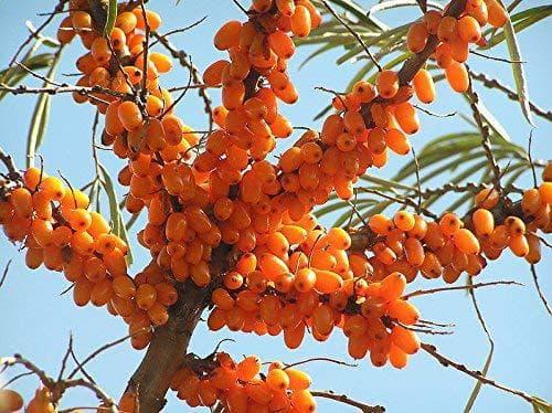 плод на облепиха