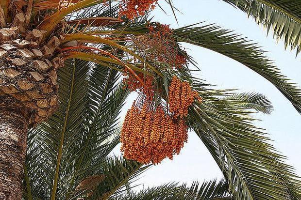 плодове на финикова палма