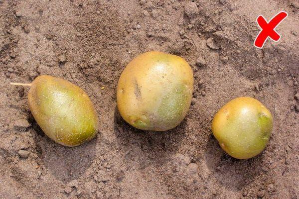 Суров картоф