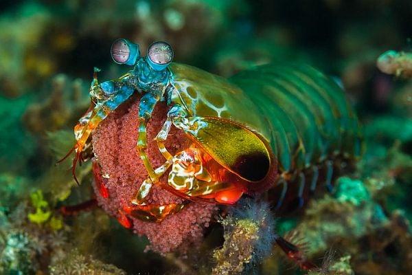 Рак богомолка - едно от най-красивите морски създания на света