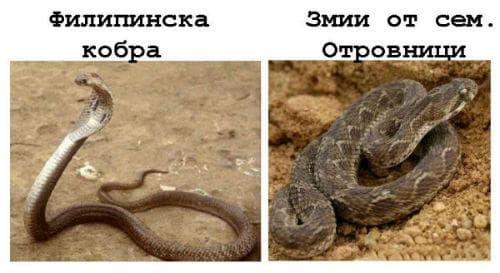 Филипинска кобра / Змии от семейство Отровници (усойница, пепелянка)