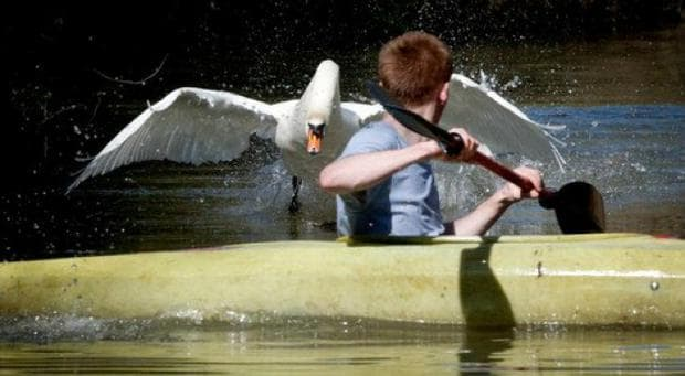 агресивният лебед