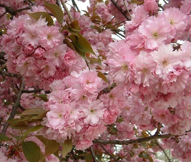 цветове на японска вишна