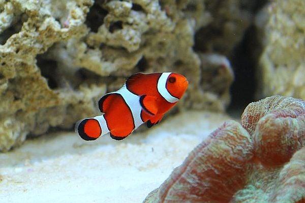 Риба клоун - едно от най-красивите морски създания в света