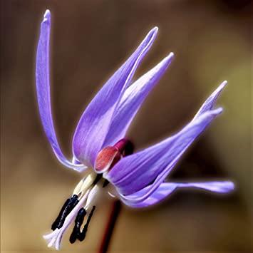 цвят на самодивско цвете