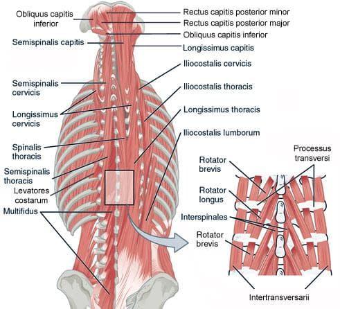 Дълбоки мускули на трупа