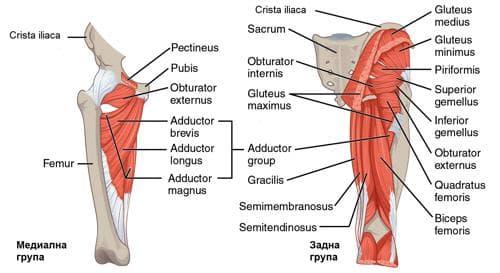 Мускули на бедрото - задна и медиална група