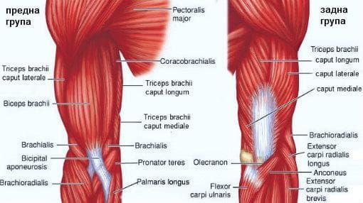 мускули на мишницата