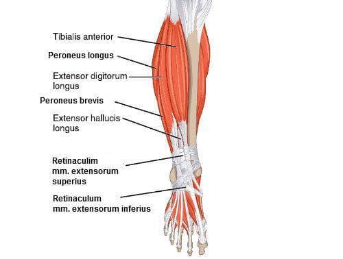 Мускули подбедрица - предна група