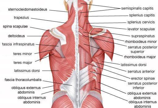 повърхностни мускули на гърба