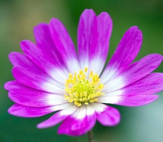 Anemonia blanda Var. Rosea