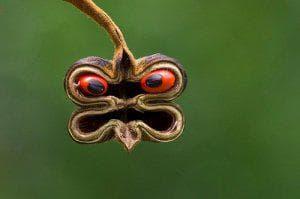 шушулка на абрус прекаториус