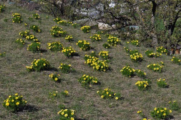 жълтоцвет
