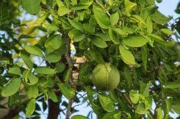 листа бенгалска дюля