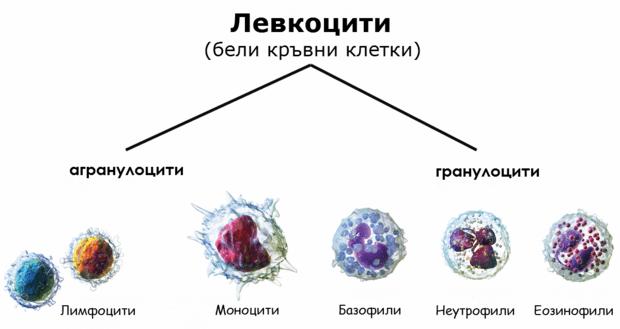 Агранулоцити и гранулоцити