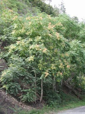 айлант дърво