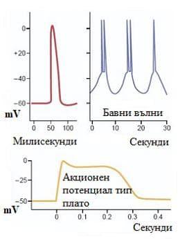 електрична активност на гладките мускули