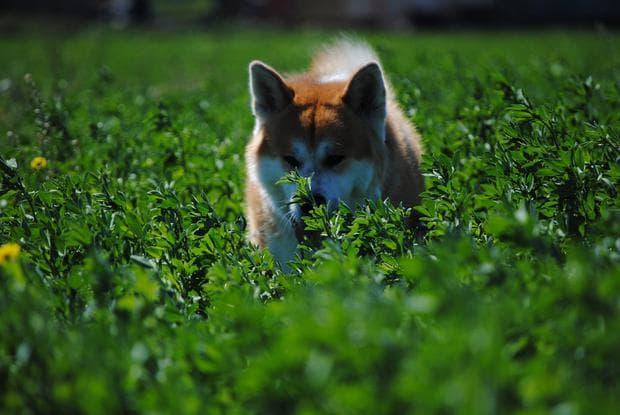 Куче от породата акита