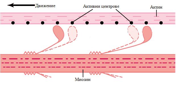 актинови и миозинови нишки