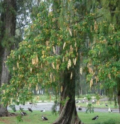 дърво албиция лебек
