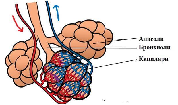 алвеоло-капилярна бариера